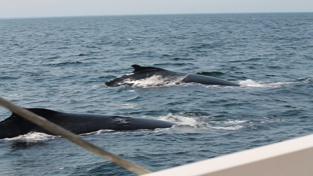 Whales of Stellwagen Bank
